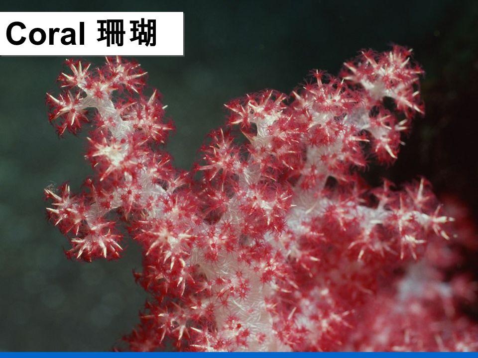 Coral 珊瑚