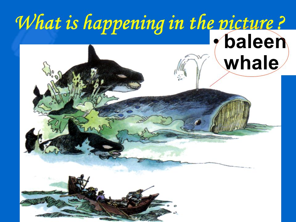 Killer whales are attacking a baleen whale with whalers waiting by in their boat,harpoon at the ready.