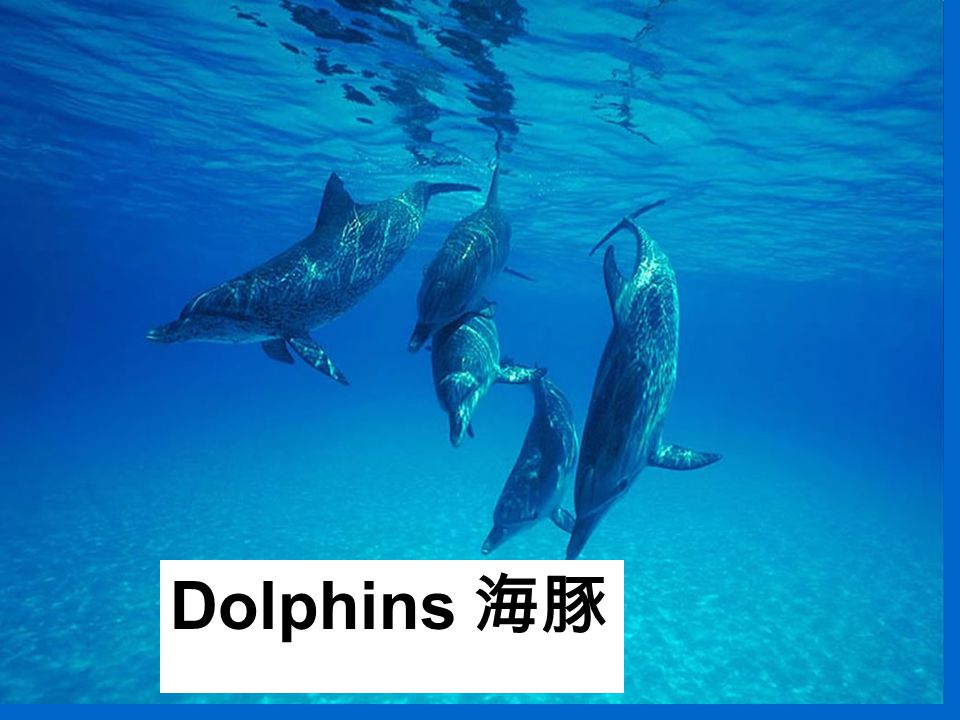 Dolphins 海豚