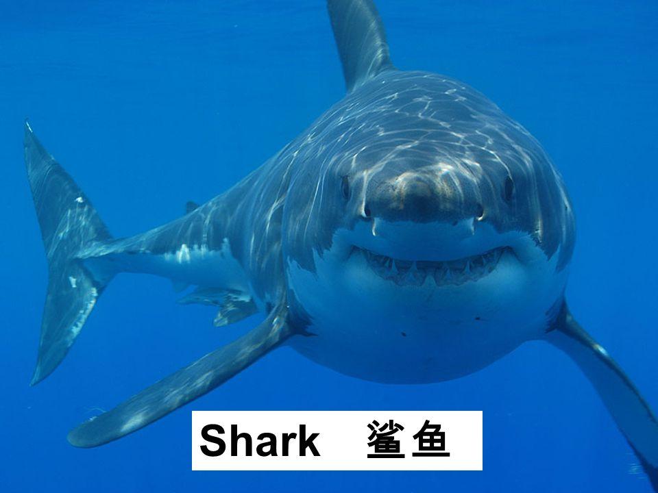 Shark 鲨鱼