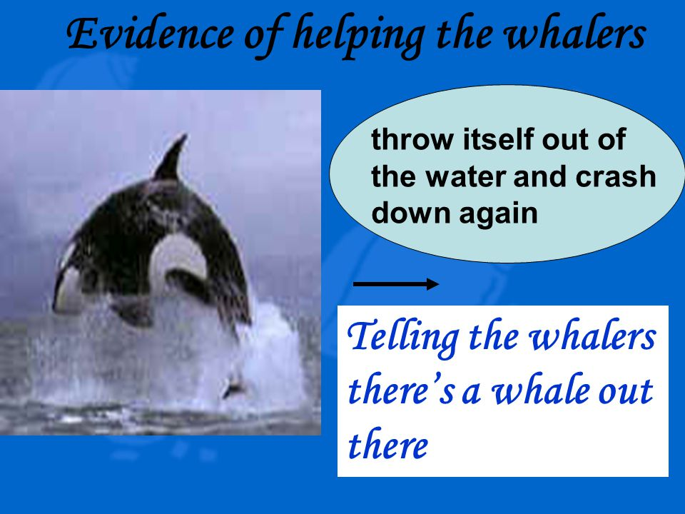 Evidence of helping the whalers throw itself out of the water and crash down again Telling the whalers there's a whale out there