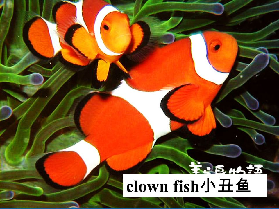clown fish 小丑鱼
