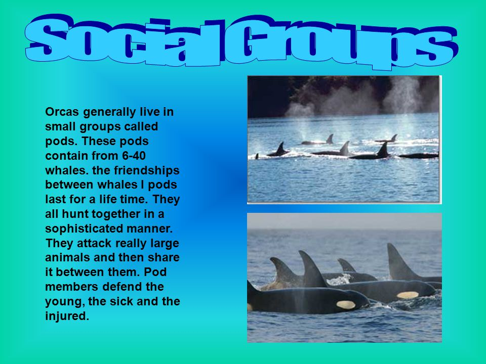 Orcas generally live in small groups called pods. These pods contain from 6-40 whales. the friendships between whales I pods last for a life time. The