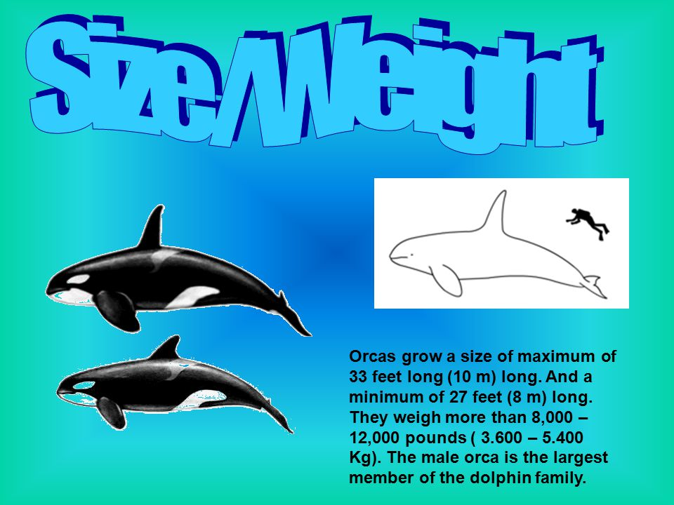 Orcas grow a size of maximum of 33 feet long (10 m) long. And a minimum of 27 feet (8 m) long. They weigh more than 8,000 – 12,000 pounds ( 3.600 – 5.