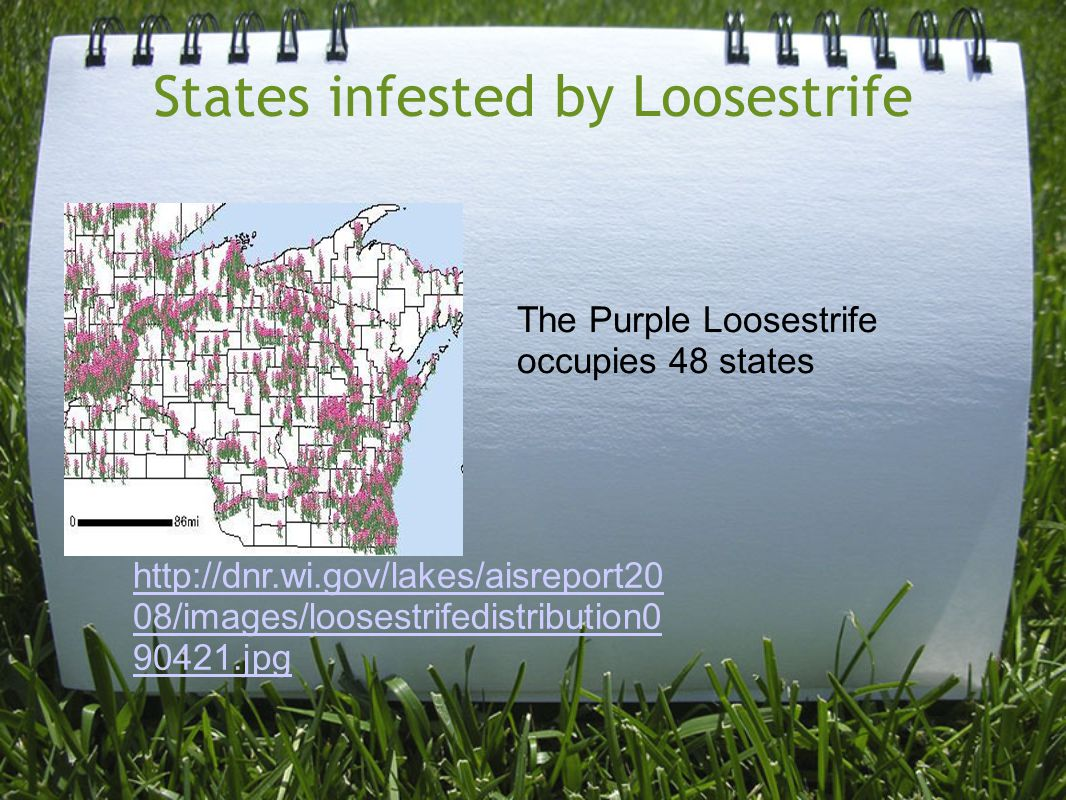 States infested by Loosestrife The Purple Loosestrife occupies 48 states http://dnr.wi.gov/lakes/aisreport20 08/images/loosestrifedistribution0 90421.