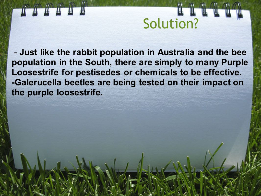Solution? - Just like the rabbit population in Australia and the bee population in the South, there are simply to many Purple Loosestrife for pestised