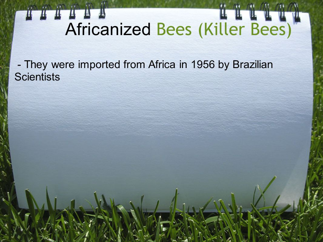 Africanized Bees (Killer Bees) - They were imported from Africa in 1956 by Brazilian Scientists