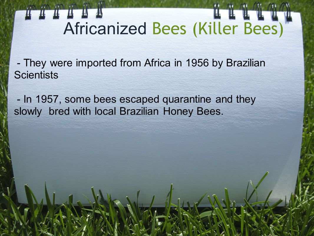 Africanized Bees (Killer Bees) - They were imported from Africa in 1956 by Brazilian Scientists - In 1957, some bees escaped quarantine and they slowly bred with local Brazilian Honey Bees.