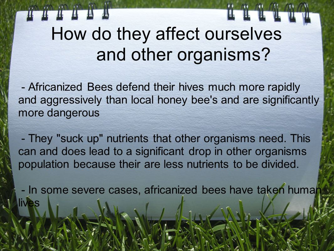 How do they affect ourselves and other organisms? - Africanized Bees defend their hives much more rapidly and aggressively than local honey bee's and