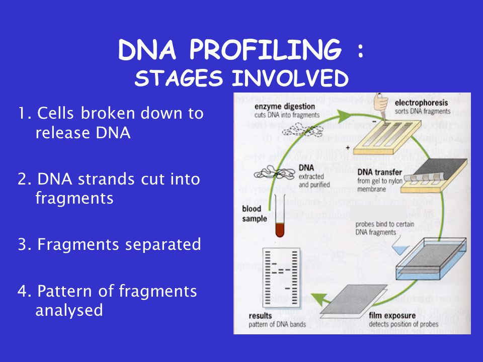DNA PROFILING : STAGES INVOLVED 1. Cells broken down to release DNA 2.