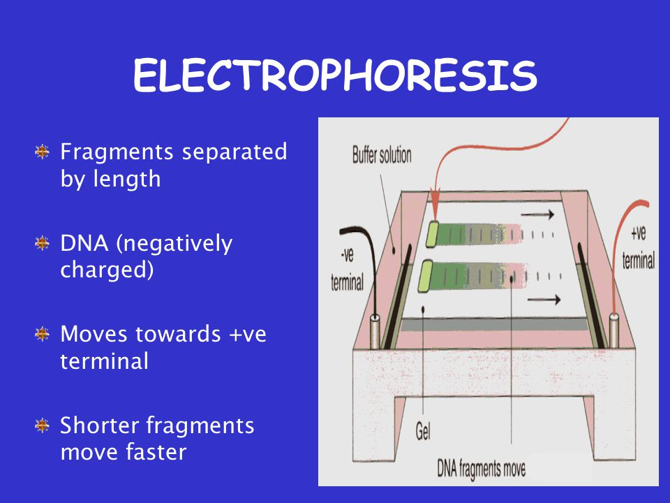 ELECTROPHORESIS Fragments separated by length DNA (negatively charged) Moves towards +ve terminal Shorter fragments move faster