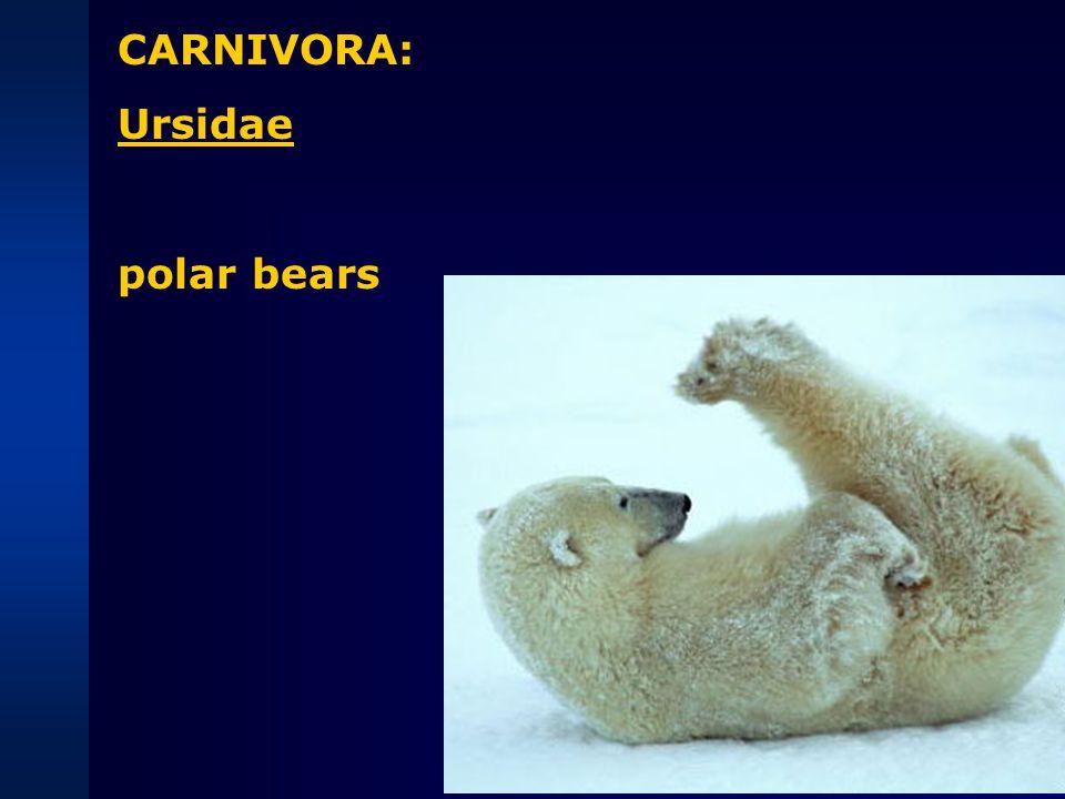 CARNIVORA: Pinnipeds Odobenidae walruses