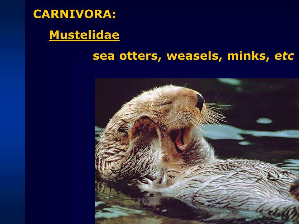 CARNIVORA: Ursidae polar bears