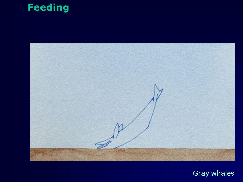 feeding Feeding Humpback whales