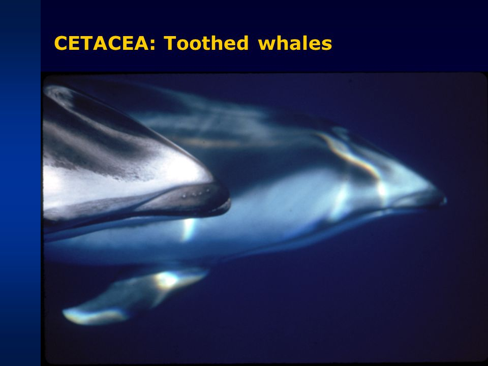 CETACEA: Toothed whales