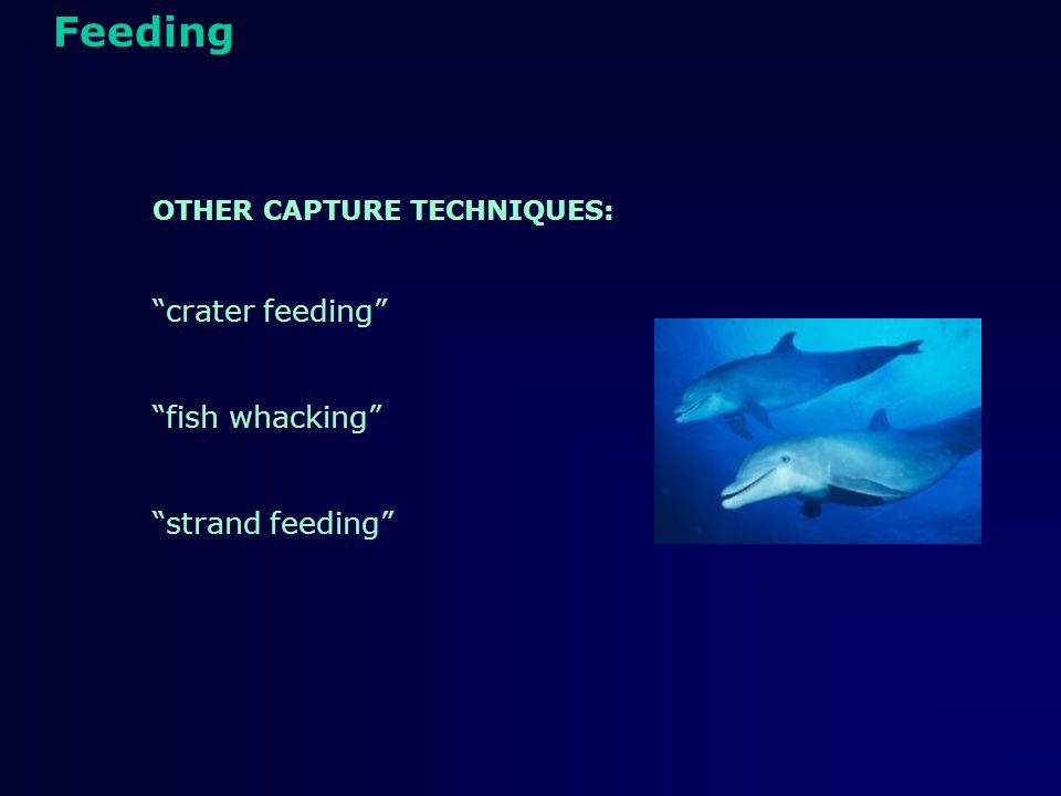Feeding Sperm whale
