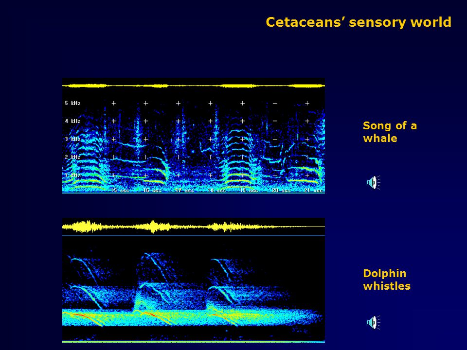 Cetaceans' sensory world SOUND Communicationwhistles Echolocationclicks