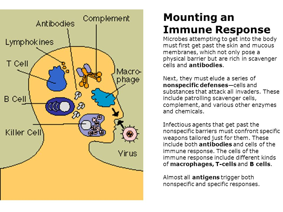 Mounting an Immune Response Microbes attempting to get into the body must first get past the skin and mucous membranes, which not only pose a physical barrier but are rich in scavenger cells and antibodies.