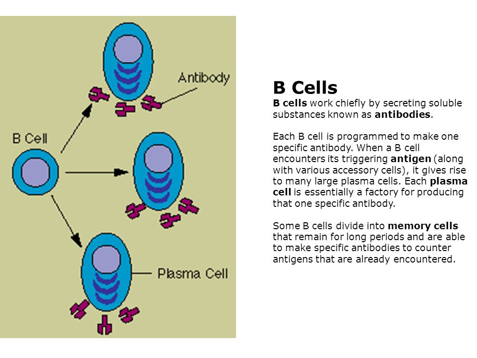 B Cells B cells work chiefly by secreting soluble substances known as antibodies.