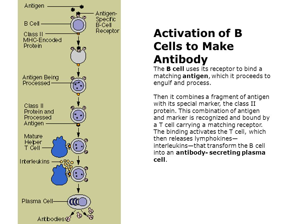 Activation of B Cells to Make Antibody The B cell uses its receptor to bind a matching antigen, which it proceeds to engulf and process.
