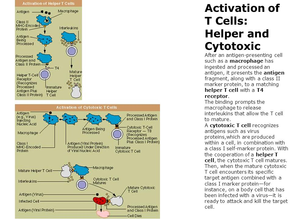 Activation of T Cells: Helper and Cytotoxic After an antigen-presenting cell such as a macrophage has ingested and processed an antigen, it presents the antigen fragment, along with a class II marker protein, to a matching helper T cell with a T4 receptor.