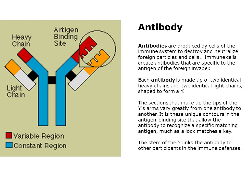 Antibody Antibodies are produced by cells of the immune system to destroy and neutralize foreign particles and cells.