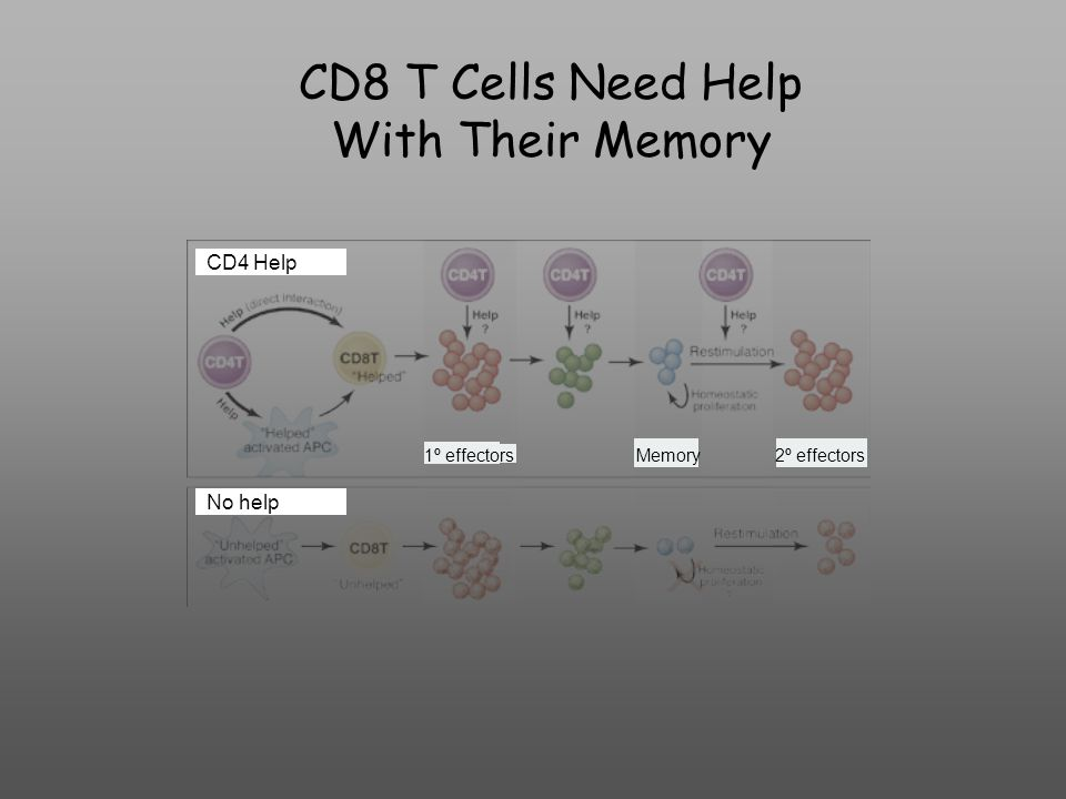 CD8 T Cells Need Help With Their Memory CD4 Help No help 1º effectorsMemory2º effectors