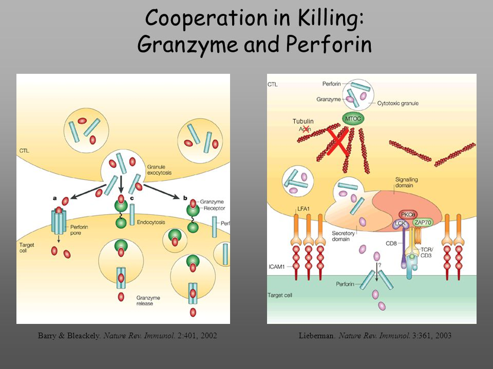 Cooperation in Killing: Granzyme and Perforin Barry & Bleackely.