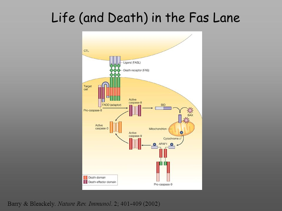 Life (and Death) in the Fas Lane Barry & Bleackely. Nature Rev. Immunol. 2; 401-409 (2002)