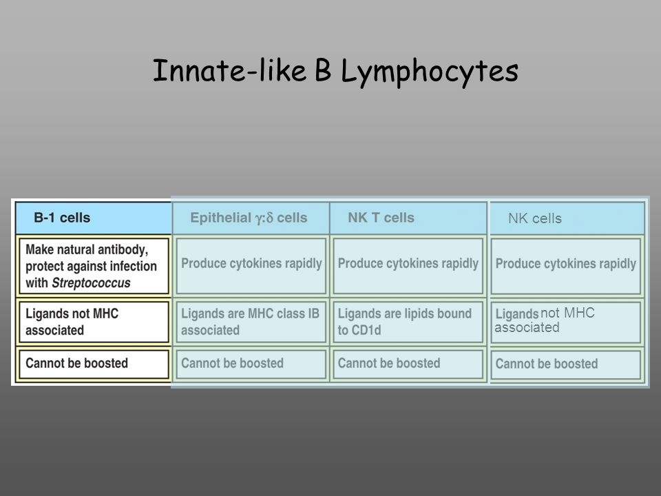 Innate-like B Lymphocytes NK cells not MHC associated
