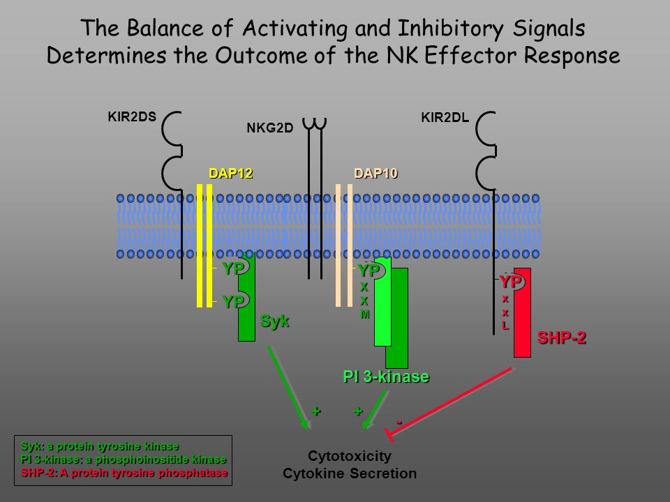 Y Y Y Y Y Y YP YP YP X X M YP x x L DAP12DAP10 KIR2DS NKG2D KIR2DL Syk PI 3-kinase SHP-2 ++ - Cytotoxicity Cytokine Secretion The Balance of Activating and Inhibitory Signals Determines the Outcome of the NK Effector Response Syk: a protein tyrosine kinase PI 3-kinase: a phosphoinositide kinase SHP-2: A protein tyrosine phosphatase