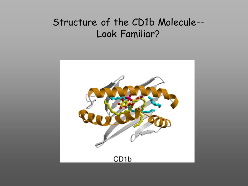 Structure of the CD1b Molecule-- Look Familiar
