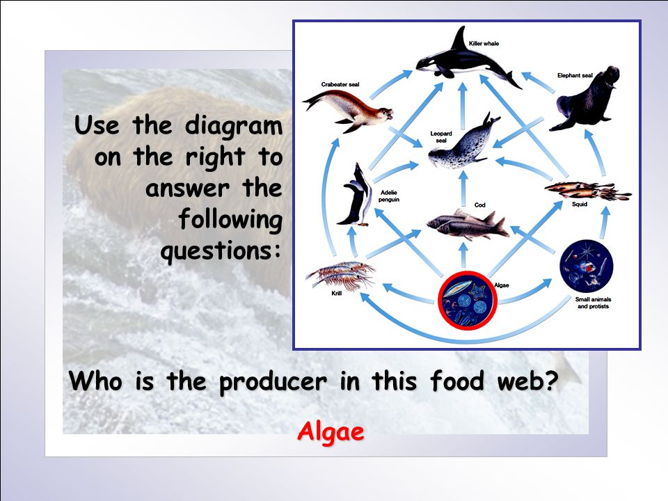 Use the diagram on the right to answer the following questions: Who is the producer in this food web? Algae