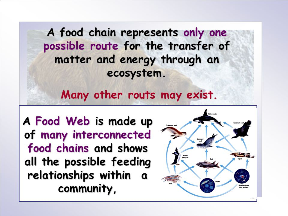 A food chain represents only one possible route for the transfer of matter and energy through an ecosystem. Many other routs may exist. A Food Web is