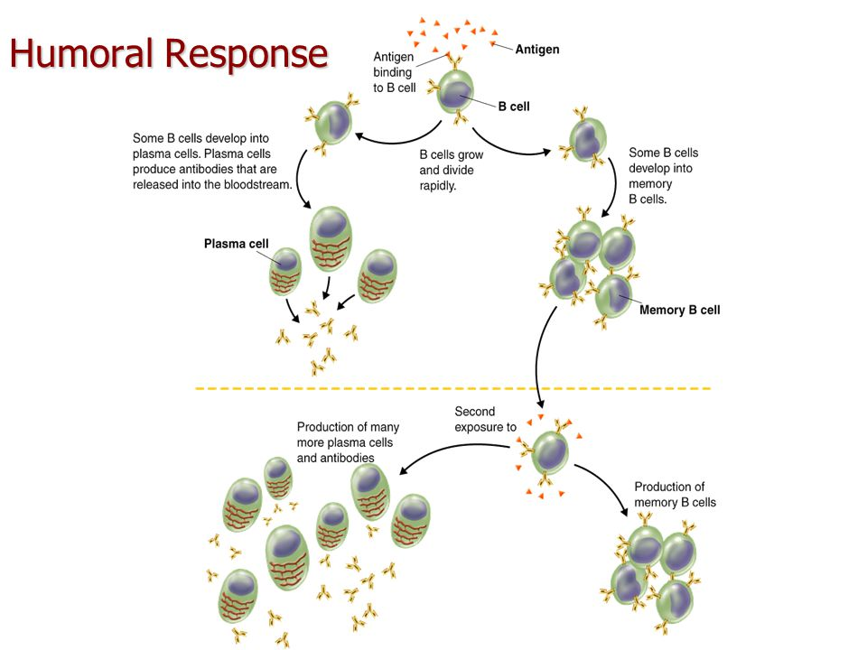Cell-Mediated Response 1.
