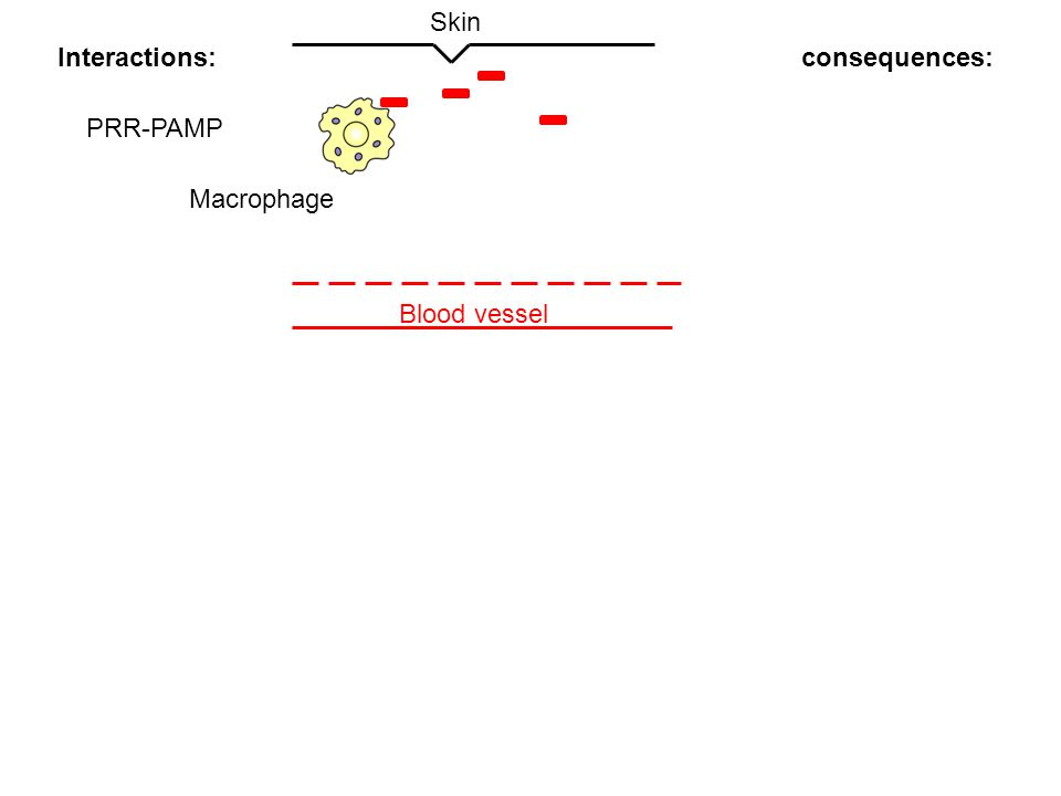 Blood vessel Skin Interactions:consequences: PRR-PAMP Macrophage