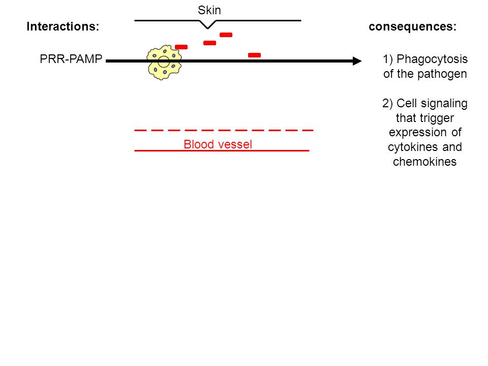 Blood vessel Skin Interactions:consequences: PRR-PAMP1) Phagocytosis of the pathogen 2) Cell signaling that trigger expression of cytokines and chemokines A well known example of this!