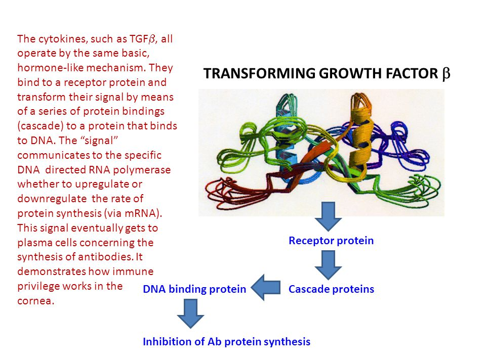 Receptor protein Cascade proteinsDNA binding protein Inhibition of Ab protein synthesis TRANSFORMING GROWTH FACTOR  The cytokines, such as TGF , all operate by the same basic, hormone-like mechanism.