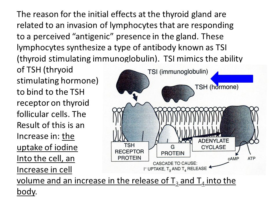 """The reason for the initial effects at the thyroid gland are related to an invasion of lymphocytes that are responding to a perceived """"antigenic"""" prese"""