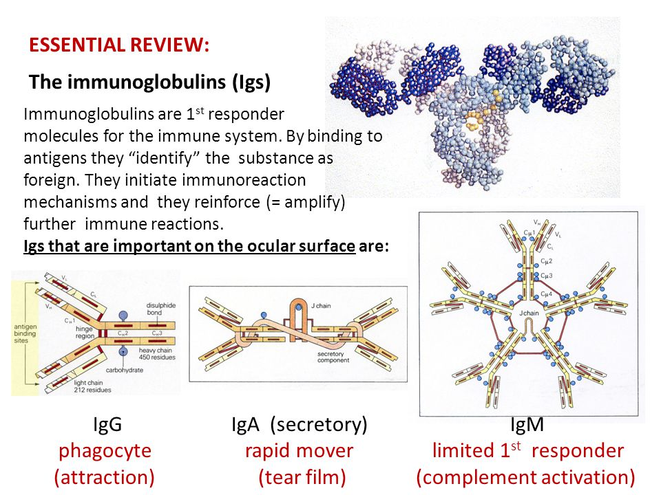 """ESSENTIAL REVIEW: The immunoglobulins (Igs) Immunoglobulins are 1 st responder molecules for the immune system. By binding to antigens they """"identify"""""""