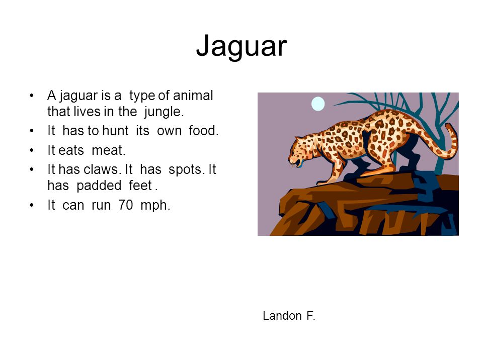 Jaguar A jaguar is a type of animal that lives in the jungle. It has to hunt its own food. It eats meat. It has claws. It has spots. It has padded fee