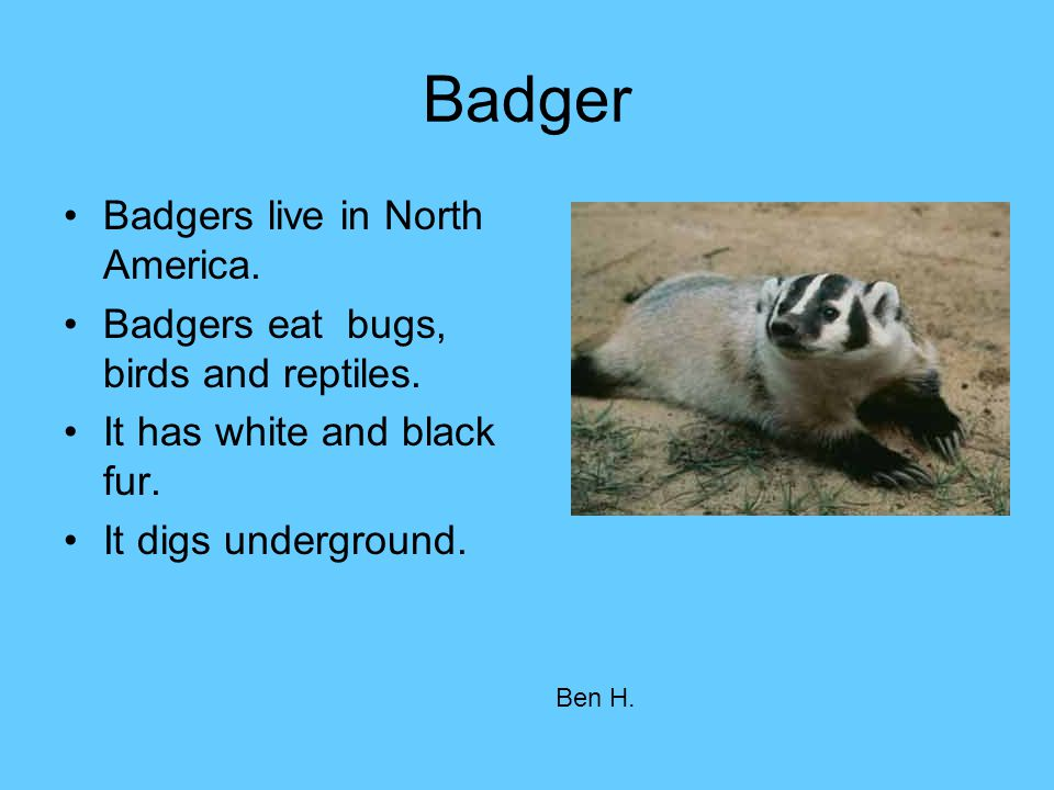 Badger Badgers live in North America. Badgers eat bugs, birds and reptiles. It has white and black fur. It digs underground. Ben H.