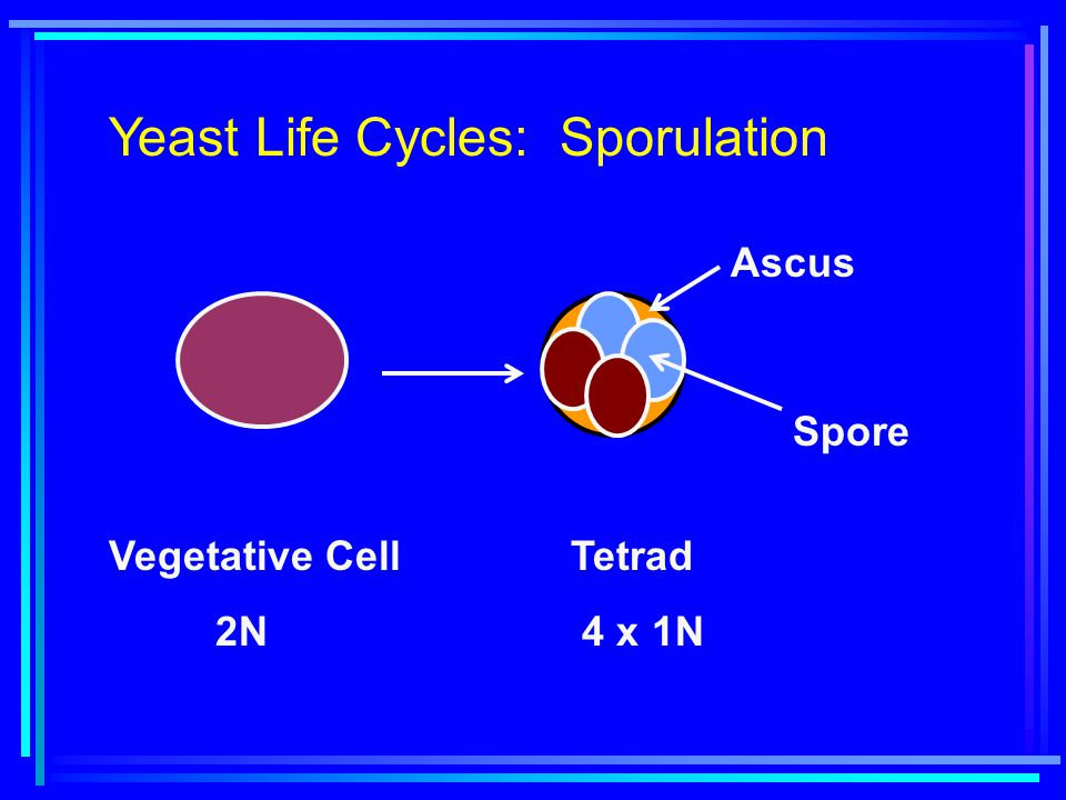 Yeast Life Cycles: Sporulation Vegetative Cell 2N Tetrad 4 x 1N Spore Ascus