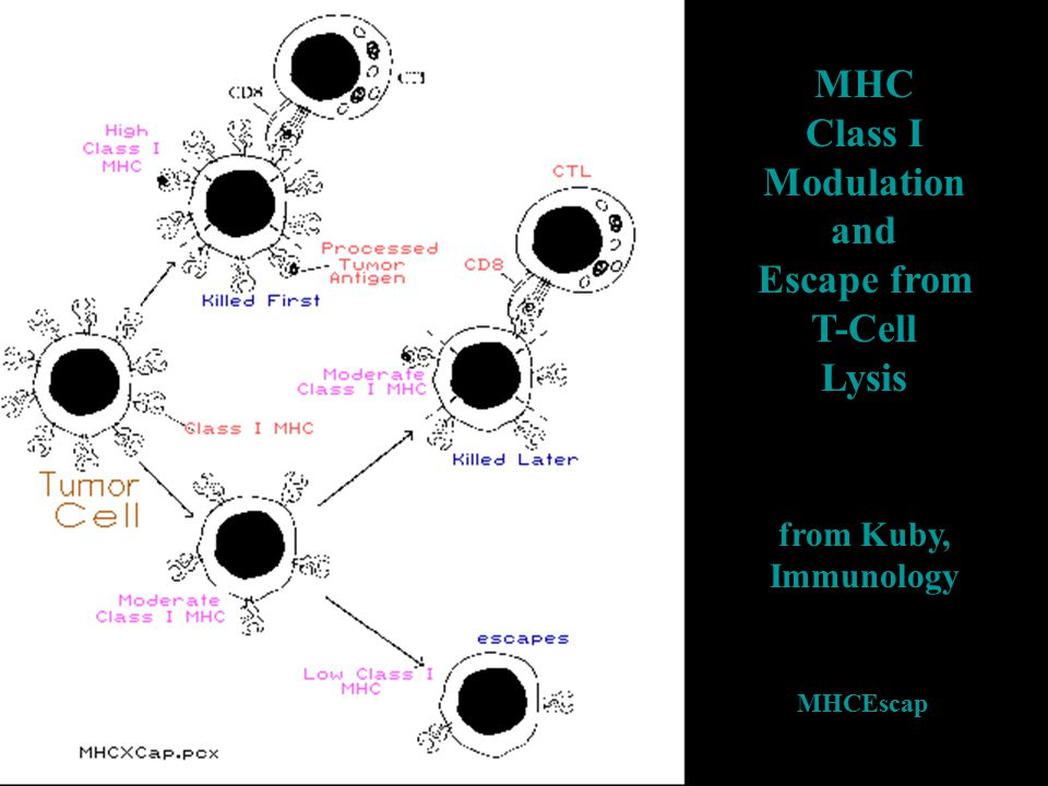 MHC Class I Modulation and Escape from T-Cell Lysis from Kuby, Immunology MHCEscap