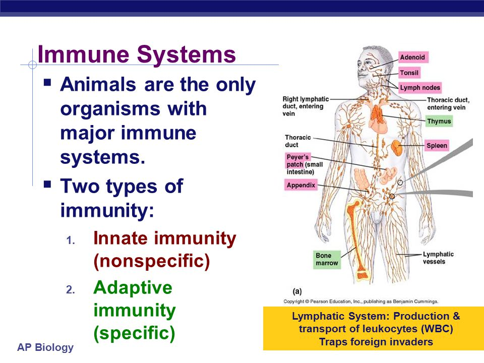 AP Biology Humoral Immune Response Helper T cells activate B cells directly.