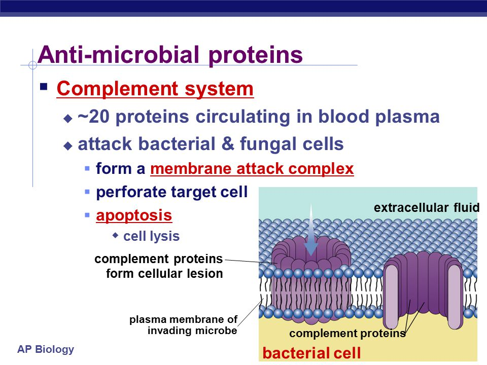 AP Biology Anti-microbial proteins  Complement system  ~20 proteins circulating in blood plasma  attack bacterial & fungal cells  form a membrane attack complex  perforate target cell  apoptosis  cell lysis plasma membrane of invading microbe complement proteins form cellular lesion extracellular fluid complement proteins bacterial cell