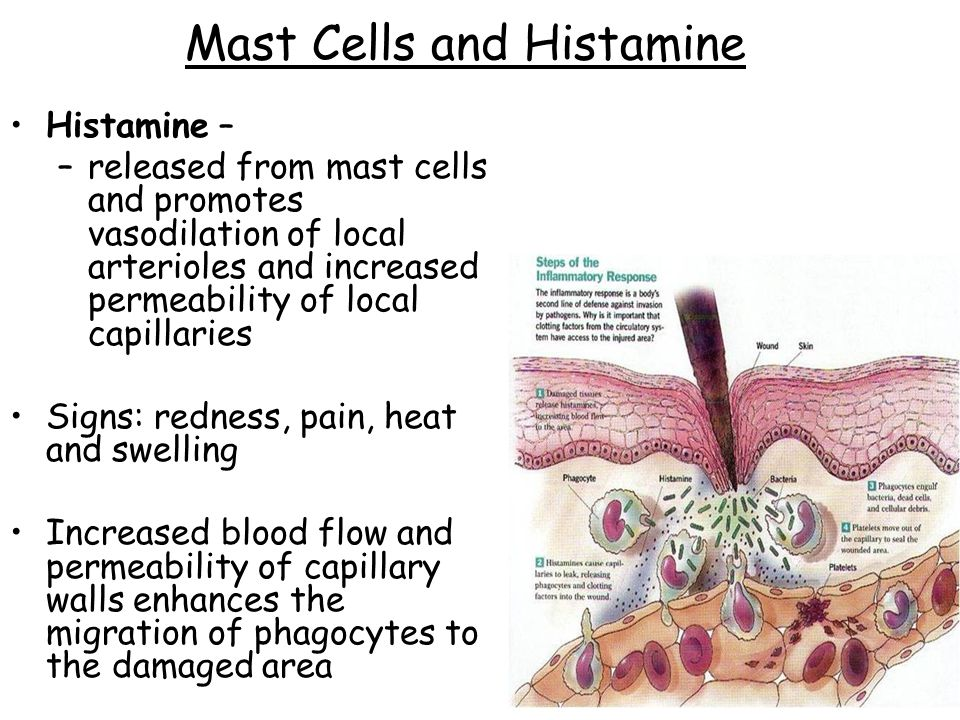 Mast Cells and Histamine Histamine – –released from mast cells and promotes vasodilation of local arterioles and increased permeability of local capillaries Signs: redness, pain, heat and swelling Increased blood flow and permeability of capillary walls enhances the migration of phagocytes to the damaged area