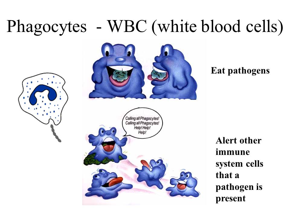 Phagocytes - WBC (white blood cells) Eat pathogens Alert other immune system cells that a pathogen is present