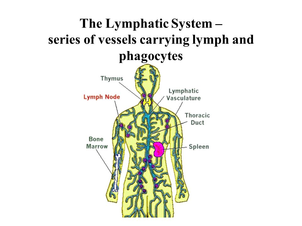 The Lymphatic System – series of vessels carrying lymph and phagocytes