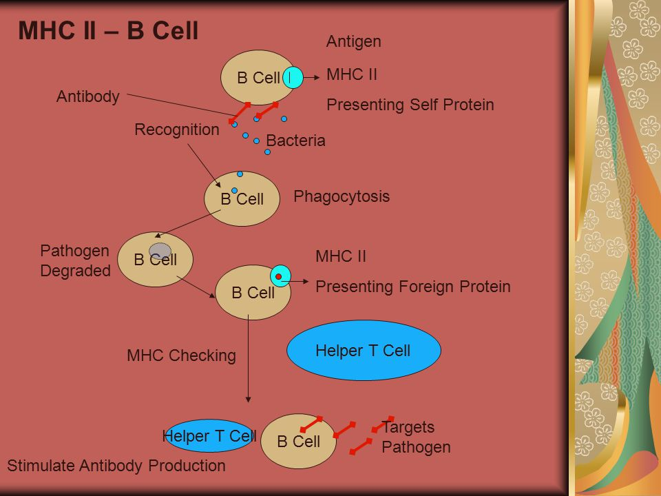 B Cell MHC Checking Helper T Cell MHC II Presenting Self Protein B Cell MHC II Presenting Foreign Protein Bacteria MHC II – B Cell Antigen Recognition B Cell Phagocytosis Pathogen Degraded Helper T Cell B Cell Stimulate Antibody Production Targets Pathogen Antibody